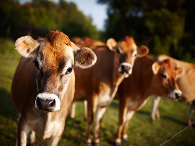 گاوها ، از محل تا مراحل زندگی