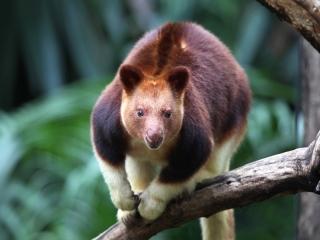 کانگوروی درختی ، بزرگترین پستاندار درختی