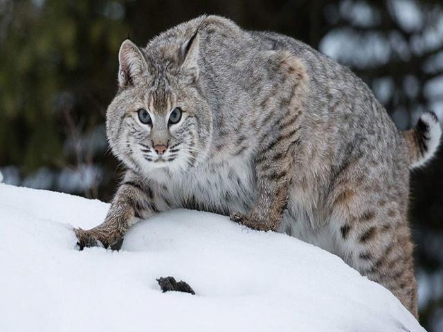 باب کت ، گربه دم کوتاه