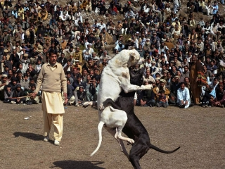 فرهنگ نادرست به جنگ انداختن حیوانات