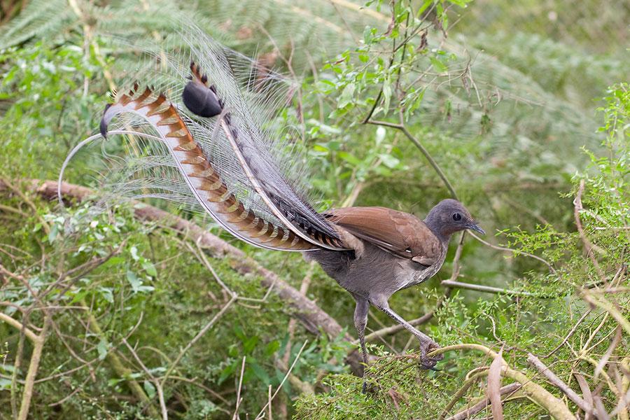پرنده استرالیایی تقلید صدا