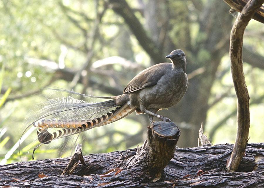 تقلید صدا پرنده استرالیایی لایر برد