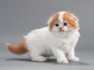 معرفی گربه نژاد اسکاتیش فولد و آنفولد