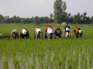 تصویب محدودیت و ممنوعیت کشت برنج خارج از استانهای گیلان و مازندران
