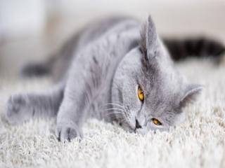 نژاد گربه بیریتیش