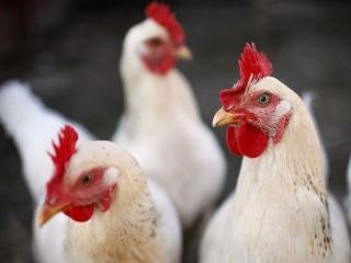 خرید و فروش مرغ زنده بیشتر از 8700 تومان مستوجب پیگرد قانونی شد