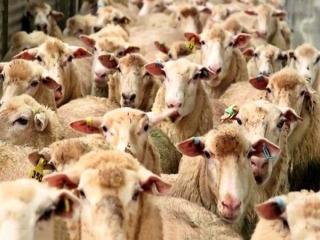 صادرات دامهای وارداتی صحت ندارد / قیمت گوشت داخلی کاهش یافت