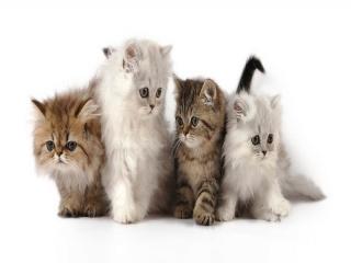 معرفی گربه نژاد پرشین