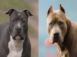 خصوصیات سگ پیت بول ؛ جنگجوی شکست ناپذیر