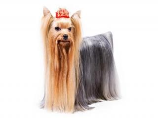 سگ نژاد یورکشایر تریر