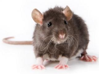 زندگی موش صحرایی ، جونده کوچک