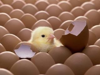 درخواست آزاد شدن صادرات جوجه یک روزه برای تقویت قیمت مرغ