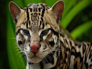 مارگای ، گربه سان مکار و جذاب (گربه پلنگ)