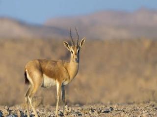 غزال ایرانی (Goitered gazelle)