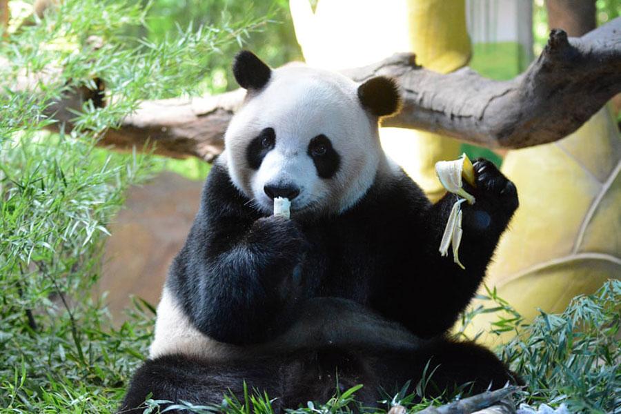 تولد کوکو پاندای سافاری پارک چیملونگ در گوآنگژو چین