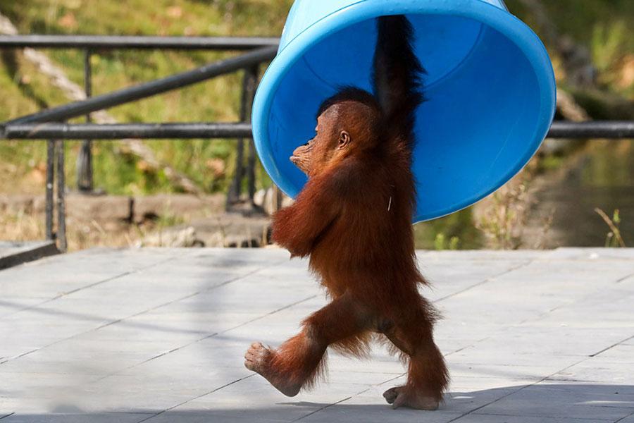 یک اورانگوتان سه ساله اهل سوماترا، برانی، در پارک حیوانات وحشی پیری دایزا در بلژیک