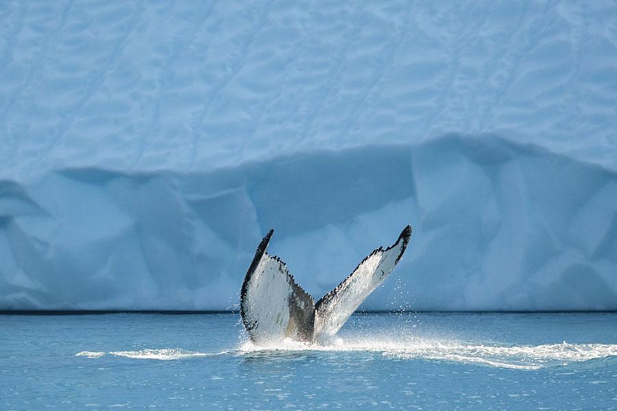 نهنگ در کنار یک کوه یخ در گرینلند