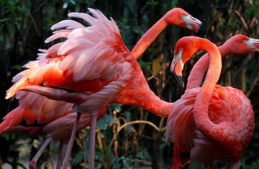 فلامینگوها در یک پارک حیات وحش در بلژیک