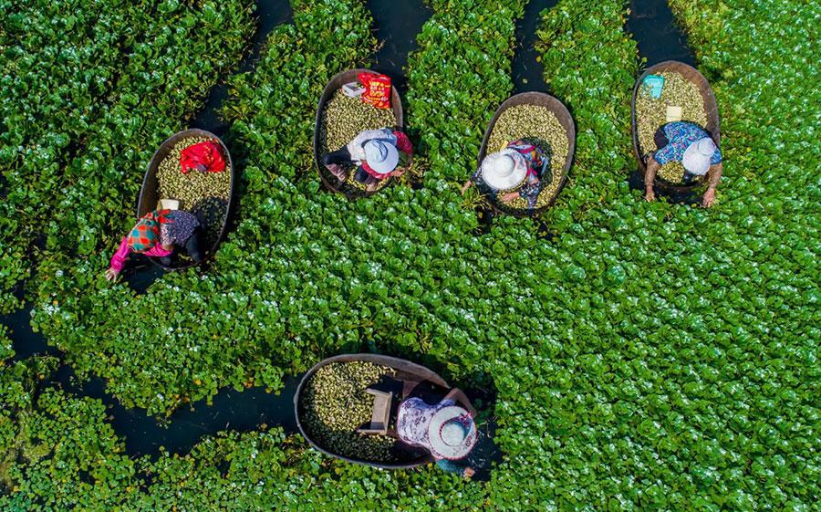 برداشت گیاه تراپا در شرق چین