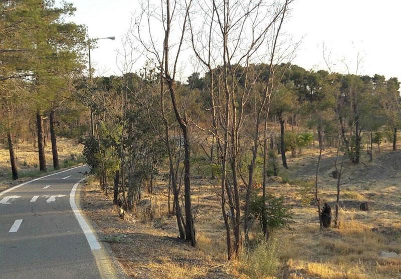 دلیل خشکشدن درختان چیتگر مشخص شد - The reason for the drying of Chigar trees was identified