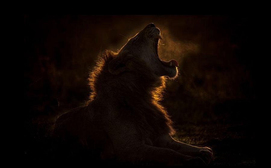 غرش یک شیر در پارک ملی ماسای مارا کنیا