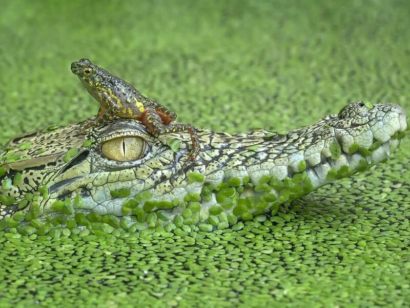 سواری گرفتن قورباغه از تمساح