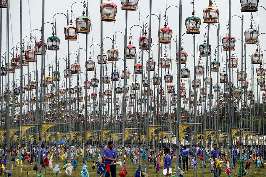 پرندگان در مسابقه سالانه در استان ناتواتیوات جنوبی تایلند