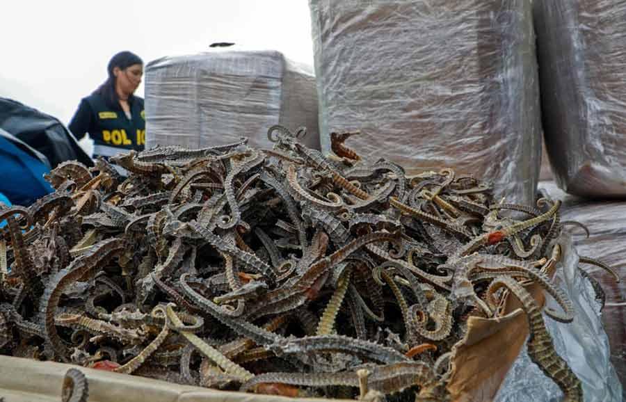 کشف بیش از 12 میلیون قطعه اسب آبی خشک شده در کشور پرو