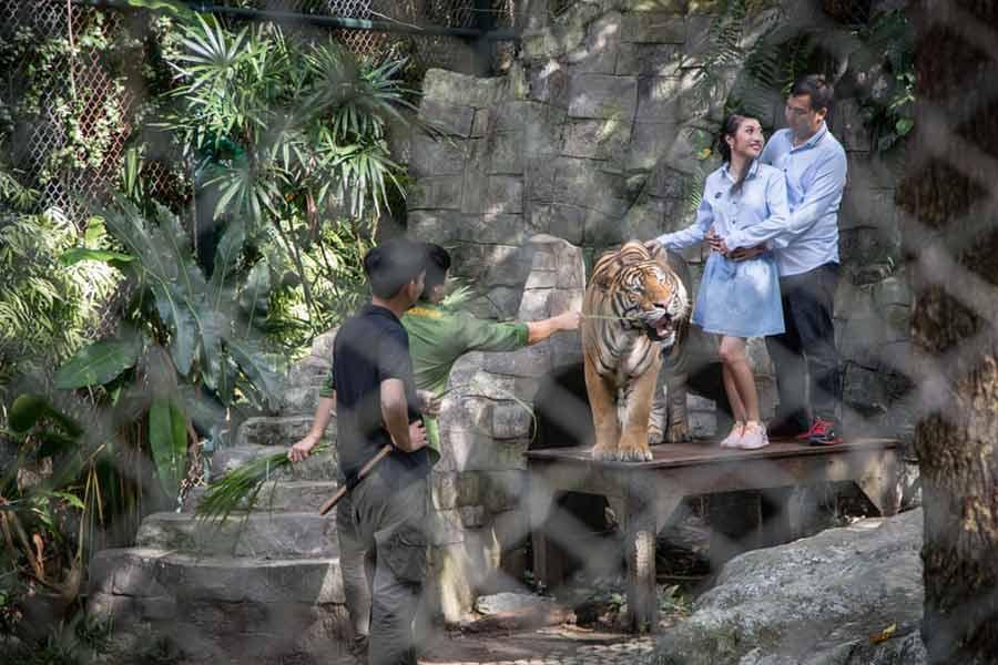 عکس گرفتن گردشگران با ببر در یک مرکز نگهداری ببرها در چیانگ مای تایلند