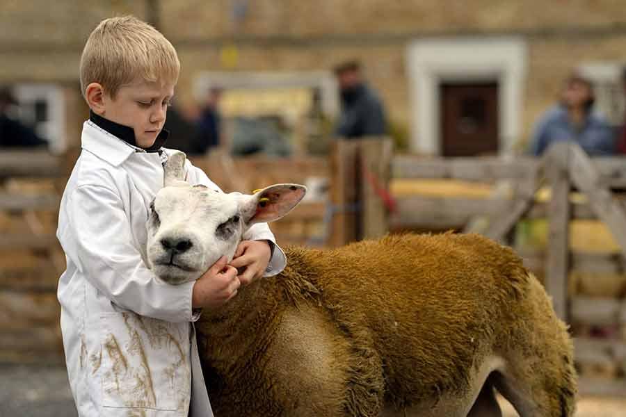 پسر 5 ساله بریتانیایی با گوسفند خود به جشنواره سالانه انتخاب احشام برتر رفته است