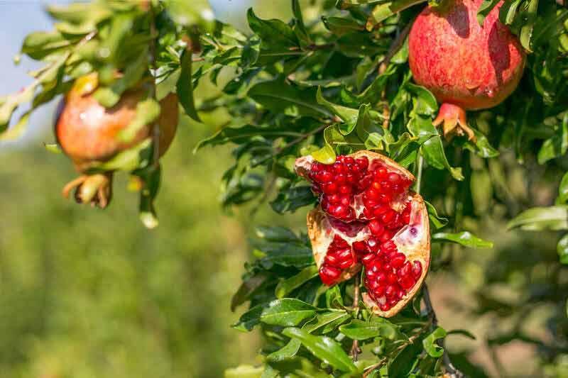 باغات انار در روستای سرریز یکی از روستاهای استان کردستان