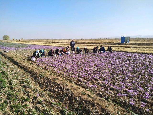 خسارت سرما به یک سوم مزارع زعفران گناباد