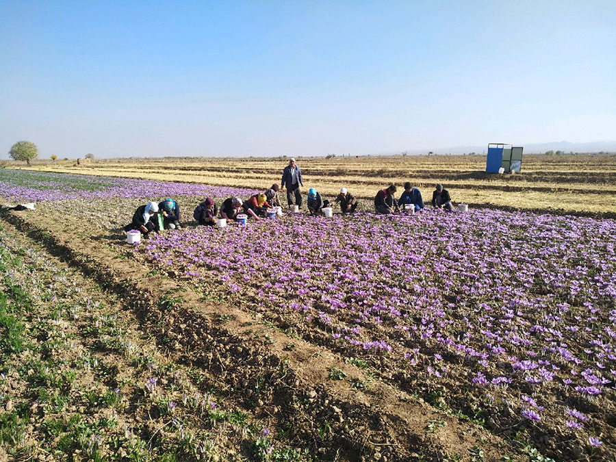خسارت سرما به یک سوم مزارع زعفران گناباد - Cold Damage to One-third of Gonabad Saffron Farms