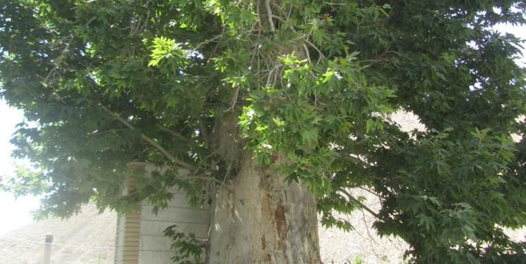 چنار 470 ساله روستای ایج ثبت ملی شد - Eij 470-year-old Plane tree became national registration