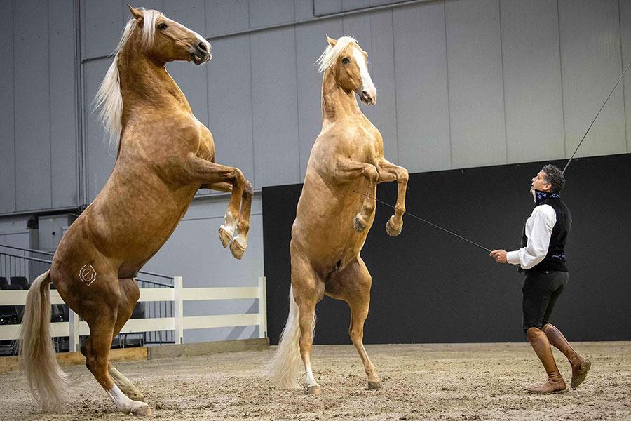 یک رام کننده و تمرین دهنده اسب در حاشیه نمایشگاهی در شهر هانوفر آلمان