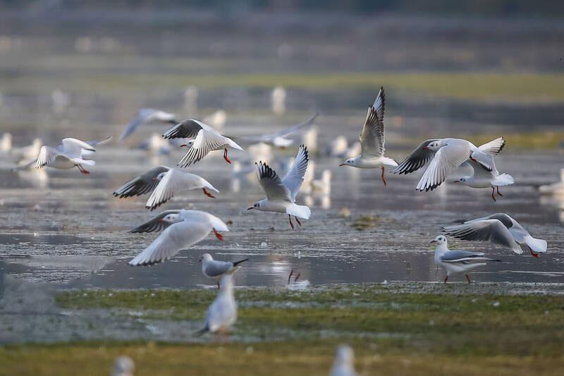 زاینده رود اصفهان در روزهای آخر جاری بودن خود،میزبان گونه های مختلف پرنده های مهاجر است