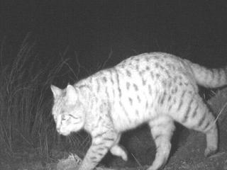 نخستین مشاهده گربه وحشی در منطقه حفاظت شده باشگل قزوین
