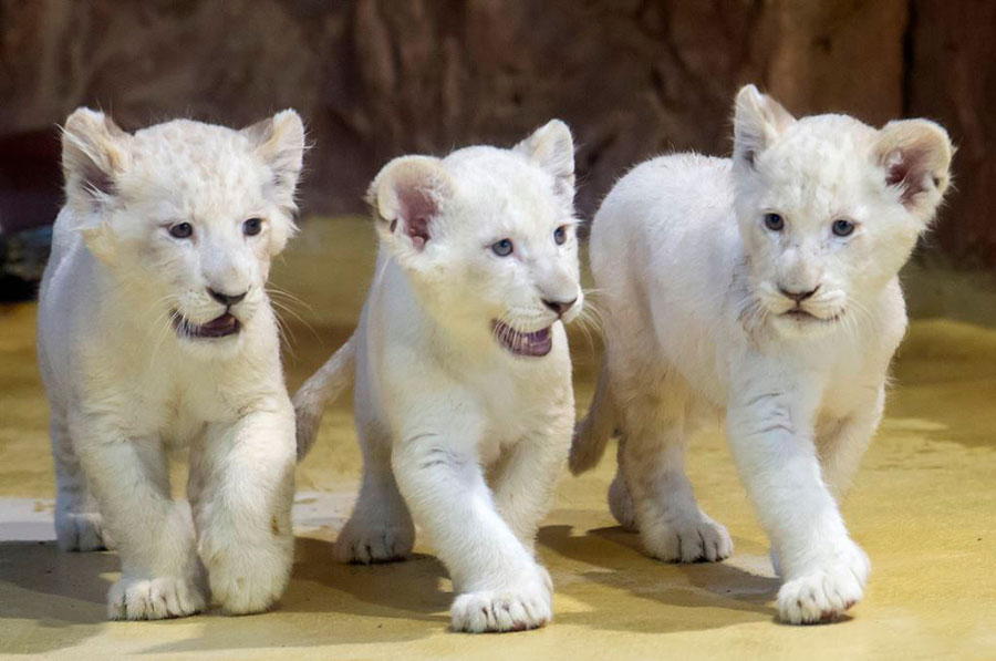 نمایش سه توله شیر سفید نادر در باغ وحشی در آلمان