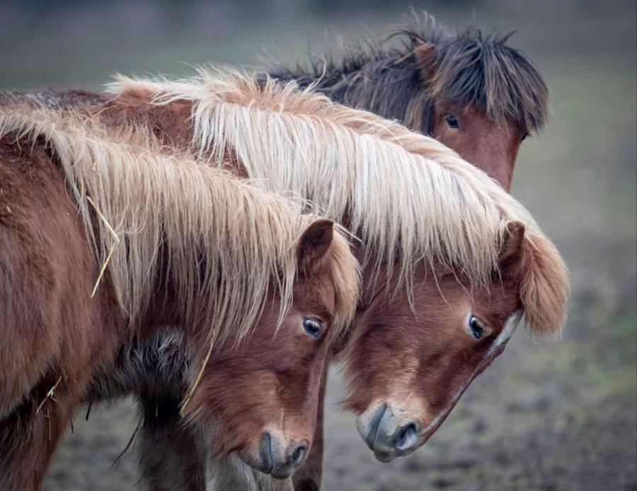 دو نمونه از اسبهای ایسلندی در باغوحشی در آلمان