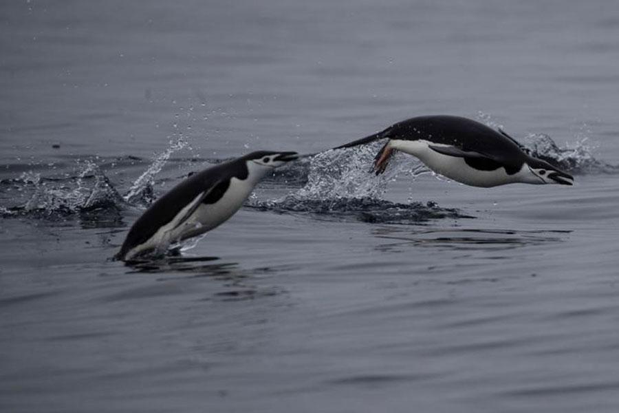 شنای پنگوئنها در آبهای قطب جنوب