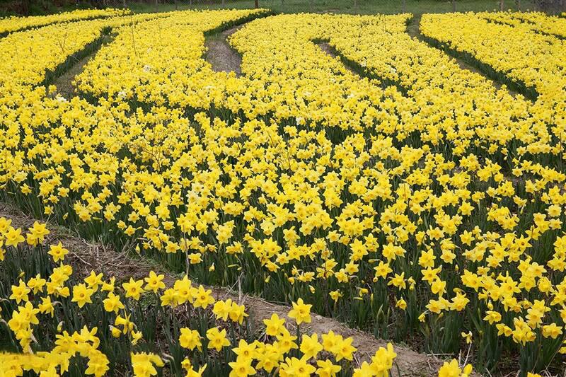 روستای ماسال از توابع بخش مرزن آباد شهرستان چالوس قطب تولید گل نرگس است