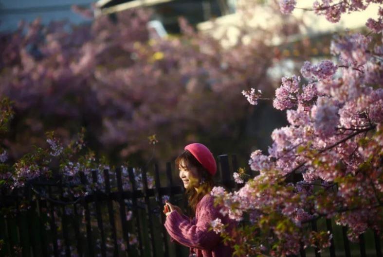 جوانه زدن شکوفههای گیلاس در شهر کیوتو ژاپن