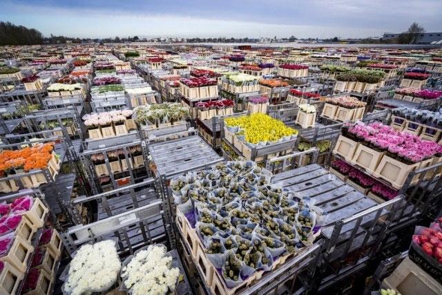 معدوم کردن میلیونها شاخه گل در هلند به دلیل نبود مشتری. صنعت گل هلند درباره ورشکستگی به دلیل بحران ویروس کرونا هشدار داده است