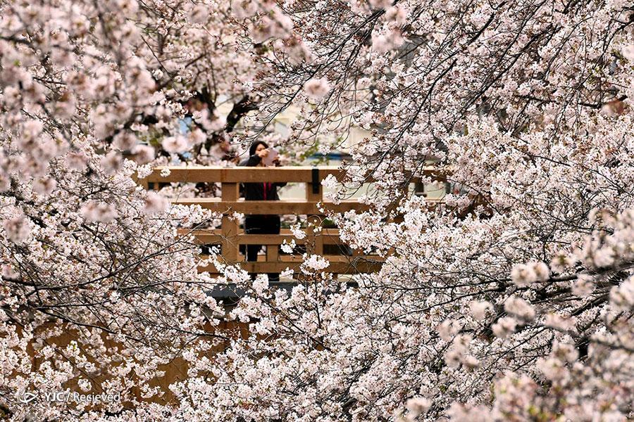 شکوفه های گیلاس توکیو ژاپن