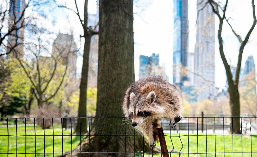 پرش یک راکون از روی موانع فلزی سنترال پارک شهر نیویورک آمریکا