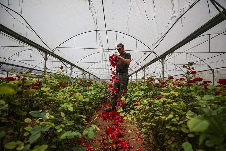 پرپر کردن گلهای یک گلخانه در نوار غزه به دلیل نبود مشتری