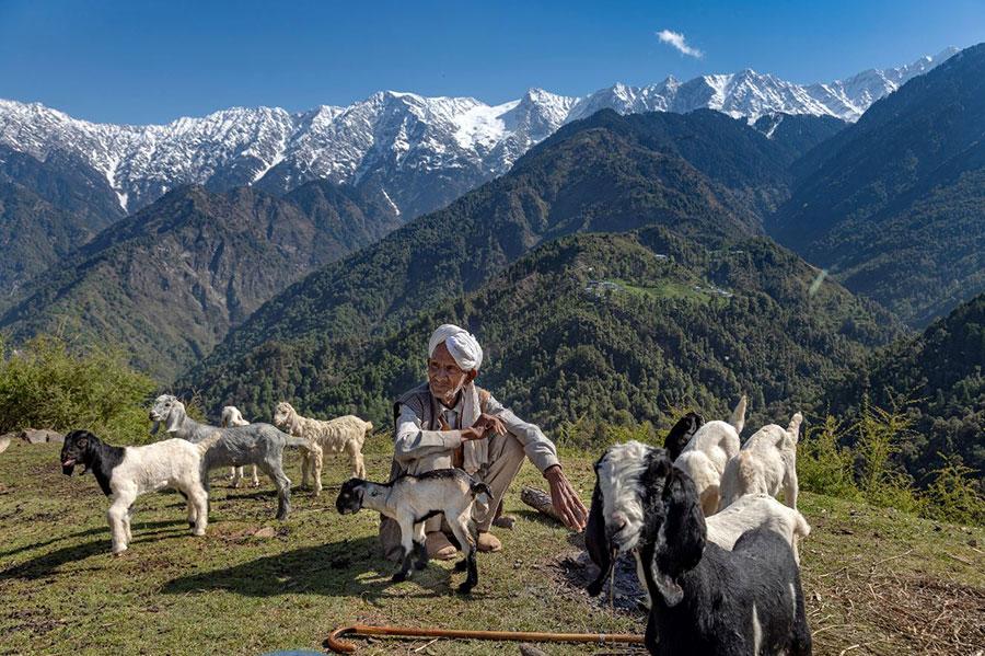چوپان هندی پشت به رشته کوههای هیمالیا