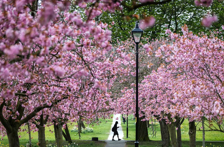 شکوفههای گیلاس در شهر هاروگِیت در یورکشایر بریتانیا