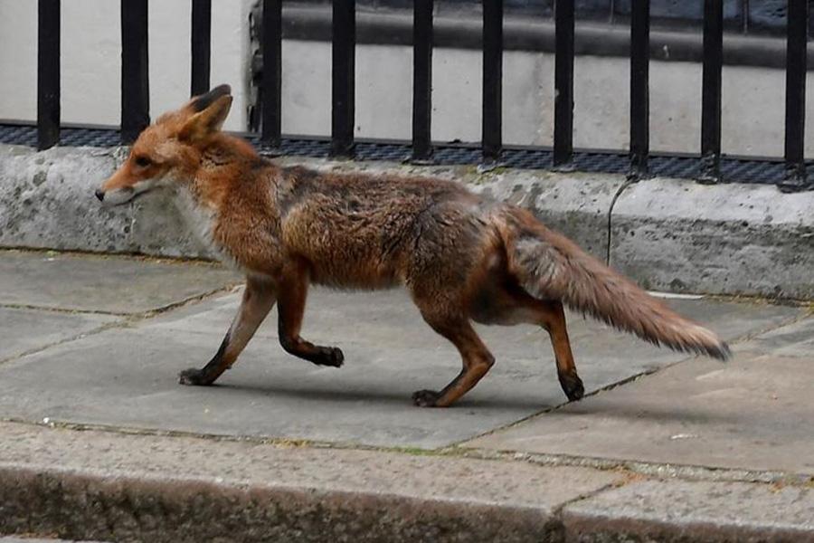 عبور روباه از خیابان داونینگ لندن (مقر دفتر نخست وزیر بریتانیا)