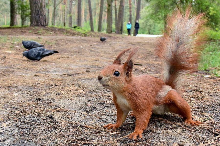 سنجاب در جنگل بیلیچی در کیف، اوکراین